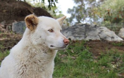 "Interview with The Very Wise ""Lilly"" the Alpine Dingo"